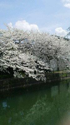 疎水の桜も今が最強!場所はおわかりになりますか?