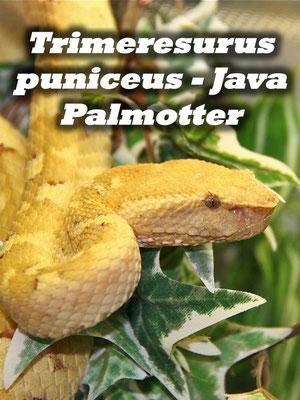 Trimeresurus puniceus - Java Palmotter