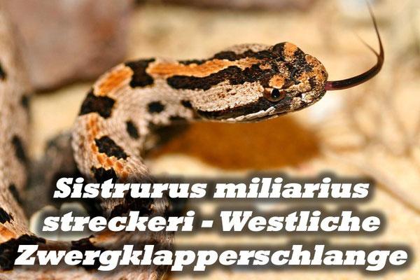 Sistrurus miliarius streckeri - Westliche Zwergklapperschlange