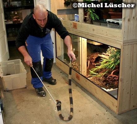 Bitte nicht nachmachen! Ich halte dieses Tier so um sicher damit arbeiten zu können und habe langjährige Erfahrung im Umgang mit Giftschlangen.