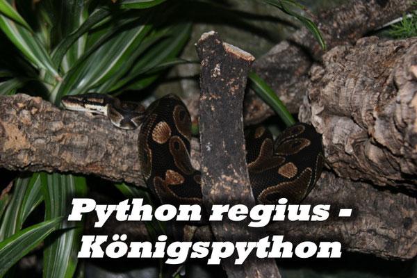 Python regius - Königspython