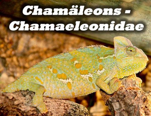 Chamäleons - Chamaeleonidae