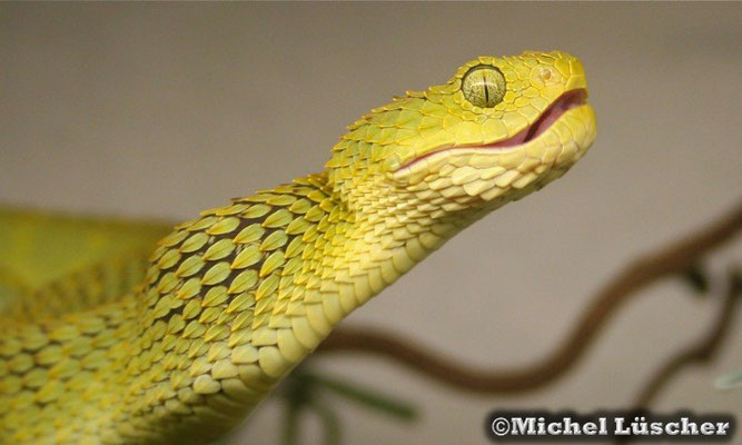 Atheris squamigera  0.1