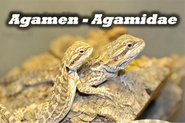 Agamen - Agamidae