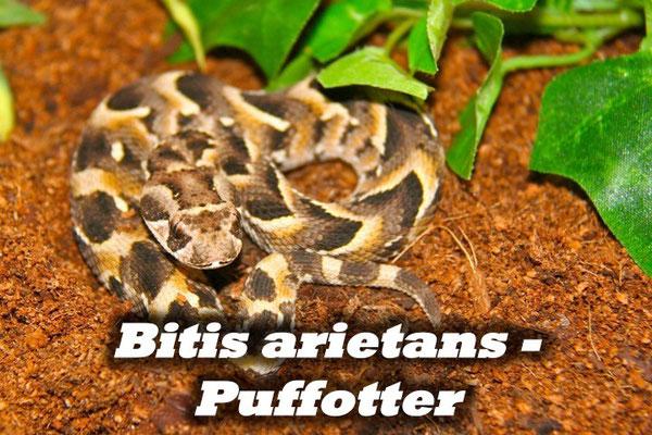 Bitis arietans - Puffotter