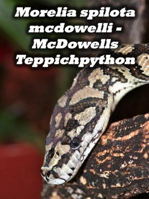 Morelia spilota mcdowelli - McDowells Teppichpython