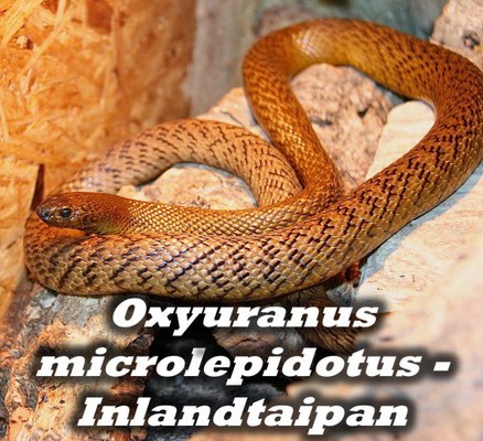 Oxyuranus microlepidotus - Inlandtaipan