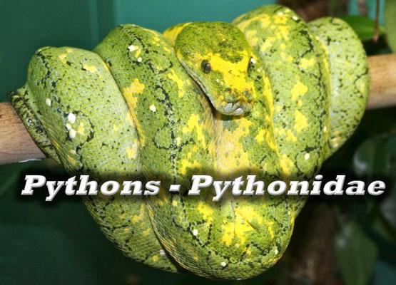 Pythons - Pythonidae