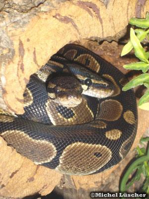 Python regius  1.1