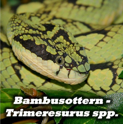 Bambusottern - Trimeresurus spp.