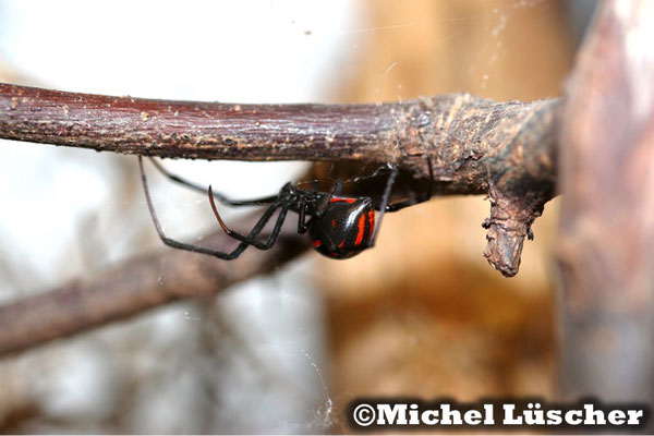 Latrodectus mactans mexicanus  0.1