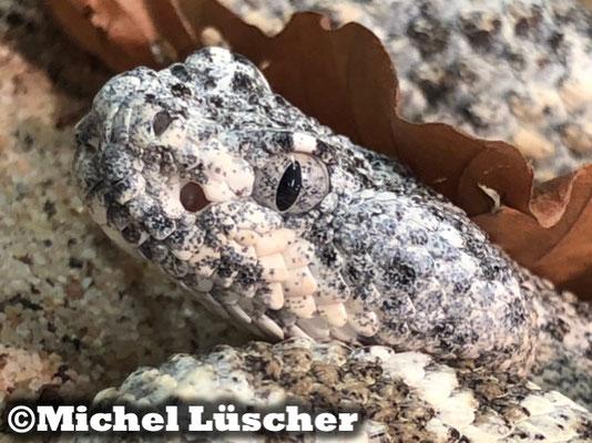 Crotalus mitchellii pyrrhus 1.0