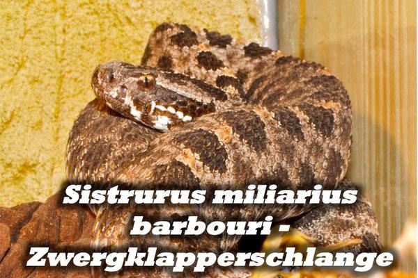 Sistrurus miliarius barbouri - Zwergklapperschlange