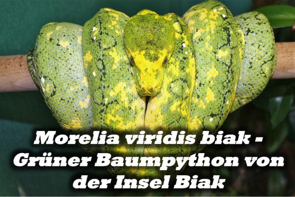 Morelia viridis biak - Grüner Baumpython von der Insel Biak