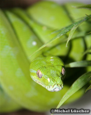 Morelia viridis aru 0.0.1