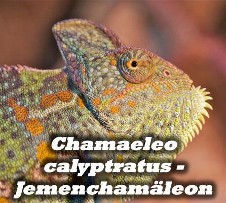 Chamaeleo calyptratus - Jemenchamäleon