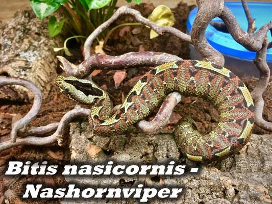 Bitis nasicornis - Nashornviper