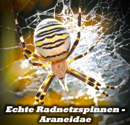 Echte Radnetzspinnen - Araneidae