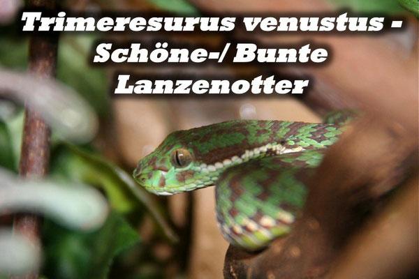 Trimeresurus venustus - Schöne-/ Bunte Lanzenotter