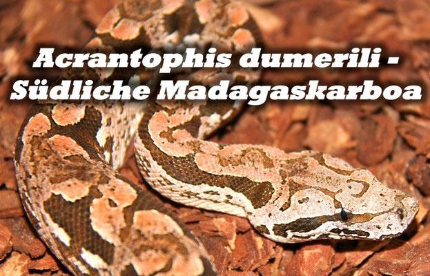 Acrantophis dumerili - Südliche Madagaskarboa