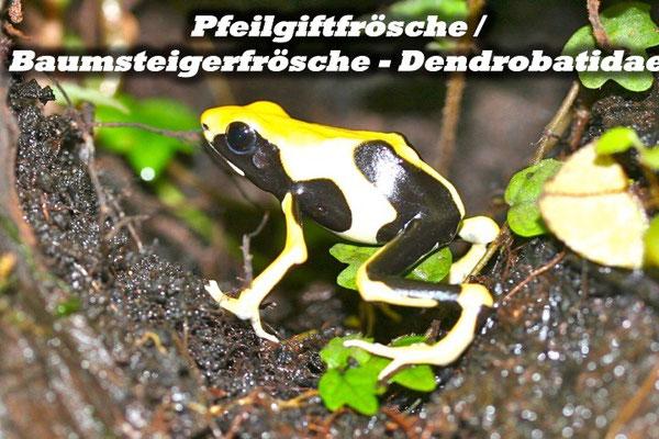 Pfeilgiftfrösche / Baumsteigerfrösche - Dendrobatidae
