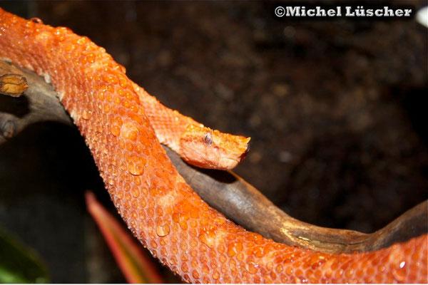 Bothriechis schlegelii  1.0