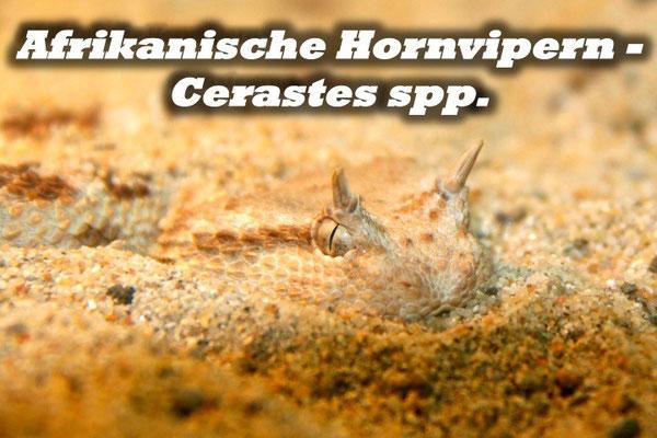 Afrikanische Hornvipern - Cerastes spp.