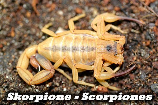 Skorpione - Scorpiones