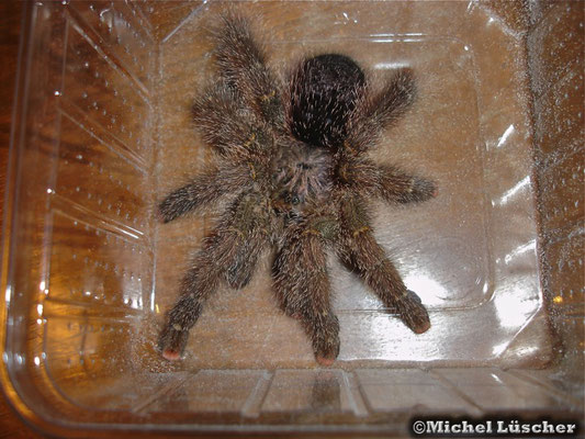 Avicularia sp. Peru Purple  0.1