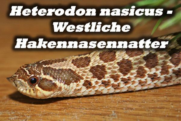 Heterodon nasicus - Westliche Hakennasennatter