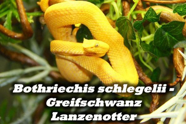 Bothriechis schlegelii - Greifschwanz Lanzenotter