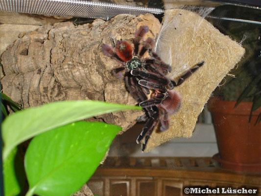 Avicularia versicolor Verpaarung