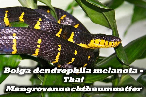 Boiga dendrophila melanota - Thai Mangrovennachtbaumnatter