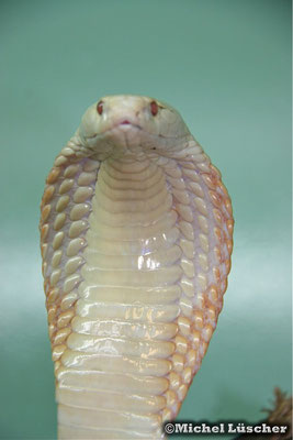 Naja kaouthia (albino)  0.1