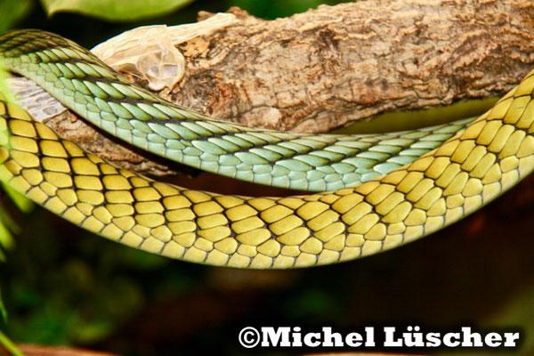 Dendroaspis viridis  1.1