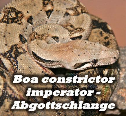 Boa constrictor imperator - Abgottschlange