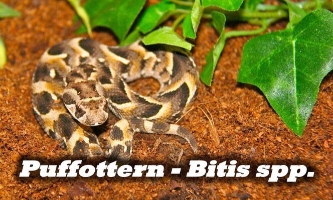 Puffottern - Bitis spp.