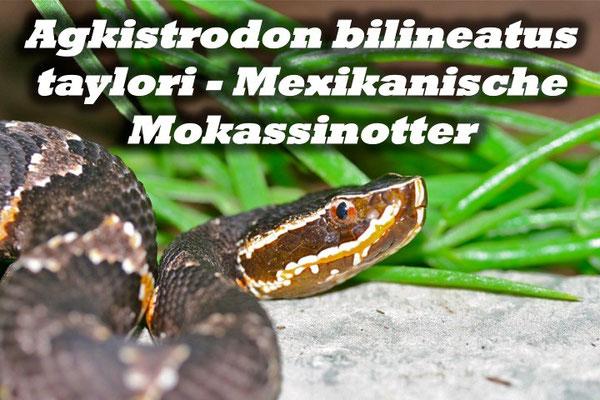 Agkistrodon bilineatus taylori - Mexikanische Mokassinotter
