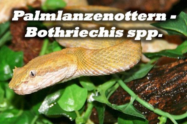 Palmlanzenottern - Bothriechis spp.