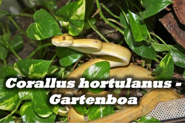 Corallus hortulanus - Gartenboa