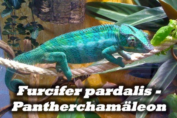 Furcifer pardalis - Pantherchamäleon