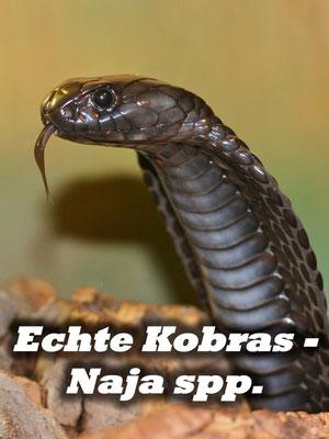 Echte Kobras - Naja spp.