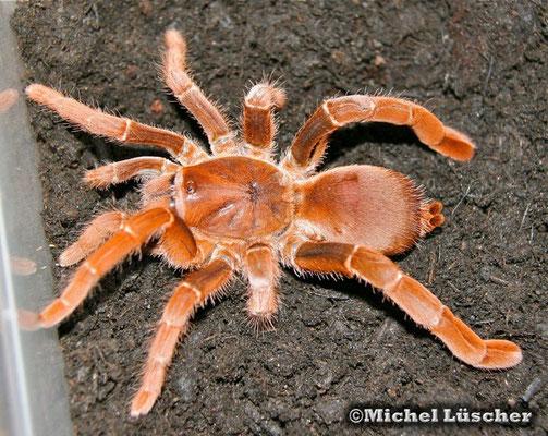 Pelinobius muticus  0.1