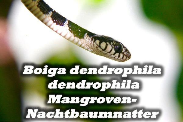 Boiga dendrophila dendrophila - Mangrovennachtbaumnatter