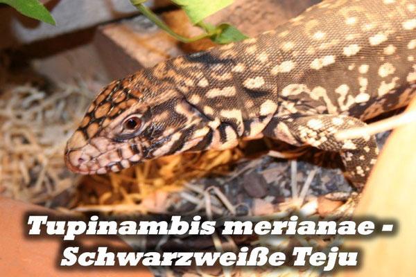 Tupinambis merianae - Schwarzweiße Teju