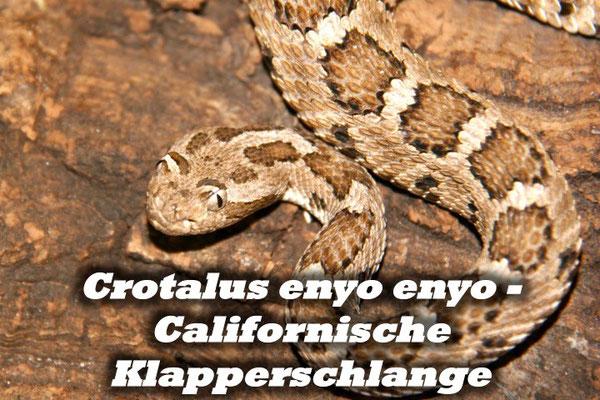 Crotalus enyo enyo - Californische Klapperschlange
