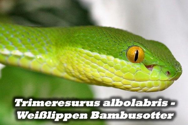 Trimeresurus albolabris - Weißlippen Bambusotter