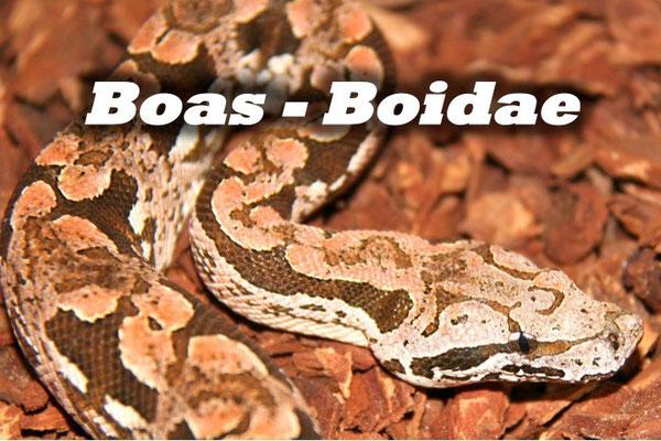 Boas - Boidae