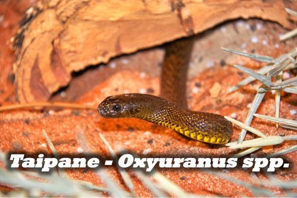 Taipane - Oxyuranus spp.