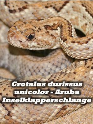Crotalus durissus unicolor - Aruba Inselklapperschlange